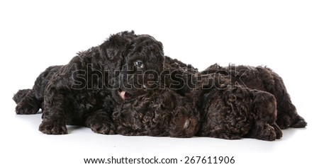 litter of puppies - 5 week old barbet puppies on white background - stock photo