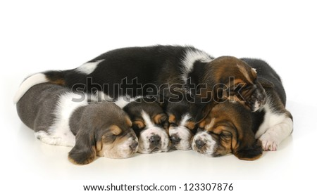 litter of puppies - 3 week old basset hound puppies sleeping on white background - stock photo
