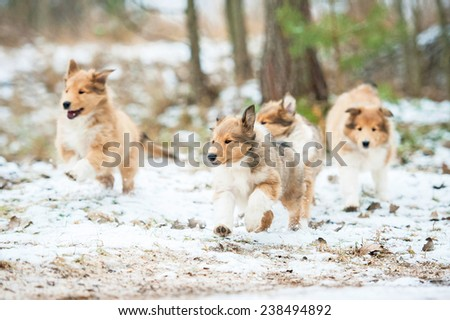 Litter of rough collie puppies running outdoors in winter - stock photo