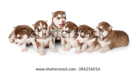 Litter of Siberian husky puppies. Front view, isolated on white.