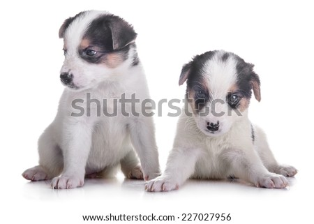 litter of two puppies mestizo. animals isolated on white background