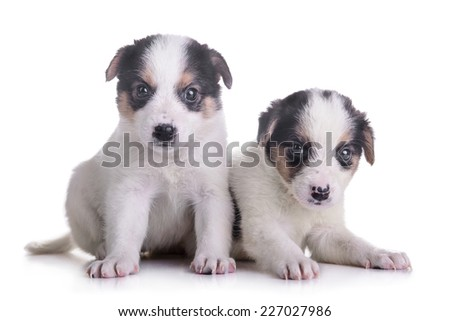 litter of two puppies mestizo. animals isolated on white background  - stock photo