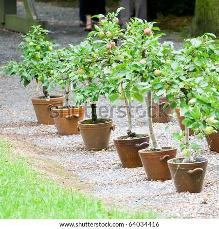little apple tree - stock photo