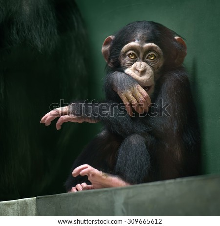 Little baby chimpanzee monkey sits with sad expression looking at camera - stock photo
