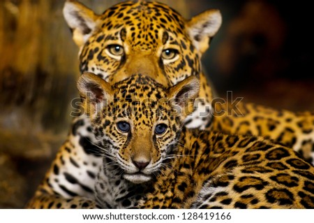 Little Baby Jaguar and its mother looking straight into the camera - stock photo
