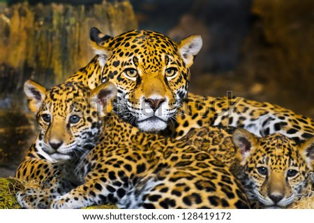 Little Baby Jaguar playing with its mother - stock photo