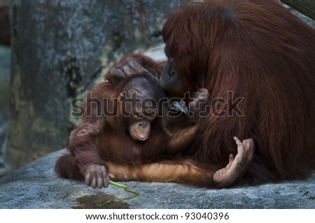 Little baby orangutan using green pea as a spoon for drinking water out of the puddle - stock photo