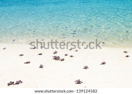 Little baby turtles on their way to the sea - stock photo
