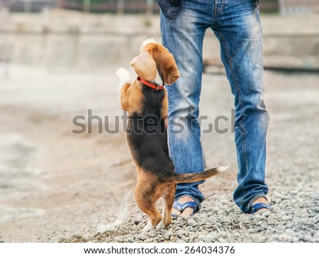 Little beagle puppy ask to play with him - stock photo