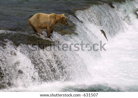 Little Bear and Leaping Salmon - stock photo