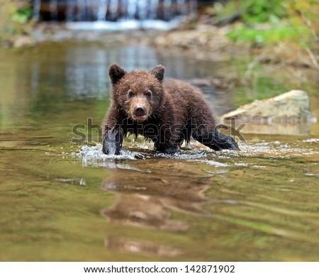 Little Bear in their natural habitat - stock photo