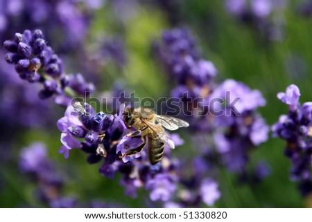 little bee - stock photo