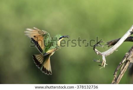 Little bee eater in flight ( merops pusillas) - stock photo