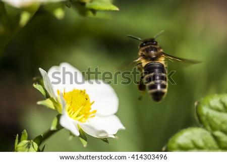 little bee flying near the white strawberry flower - stock photo