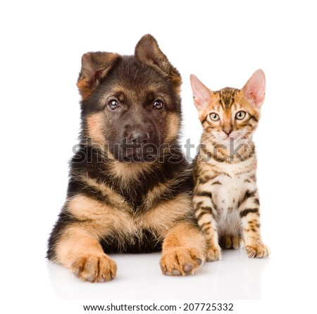 little bengal cat and german shepherd puppy dog lying together. isolated on white background