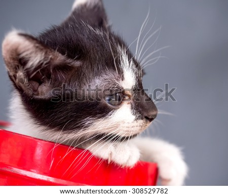 Little black and white kitten in red metal bucket with gray background