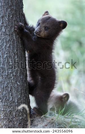 Little black bear cub wants to climb in a tree - stock photo