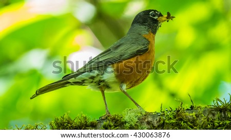 Little black headed grosbek among tree branches. Bird holds in its beak a worm - stock photo