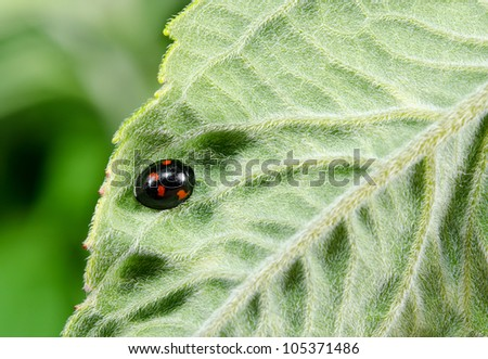 little black ladybird, brumus quadripustulatus - stock photo