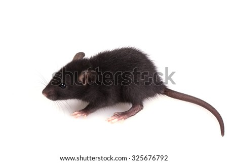 Little Black Mouse on isolated a White Background - stock photo