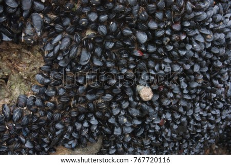 Little Black Mussels clinging to the rock.