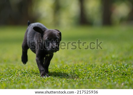 little black puppy running - stock photo