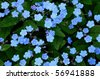 Little blue flowers - stock photo