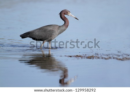 Little Blue Heron (Egretta caereula) wading in a shallow pond - Florida - stock photo