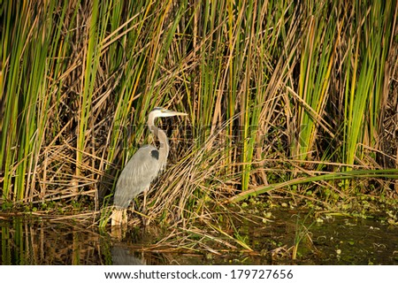 Little Blue Heron (Egretta caerulea) foraging in the Everglades. - stock photo