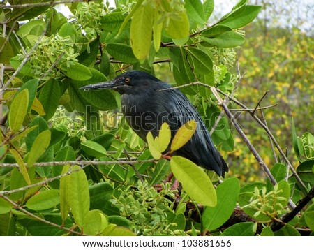 LIttle Blue Heron in a Tree, Santa Cruz Island, Galapagos - stock photo