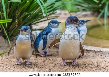Little Blue Penguin in wildlife park, Australia - stock photo