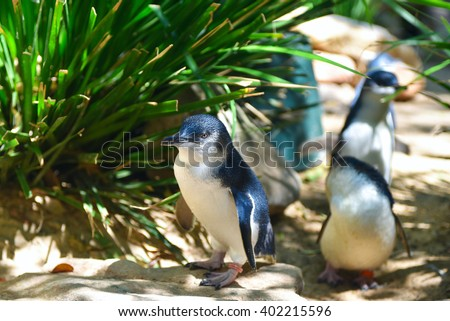 Little blue penguins walking in a herd in Featherdale Wildlife park zoo in Australia - stock photo