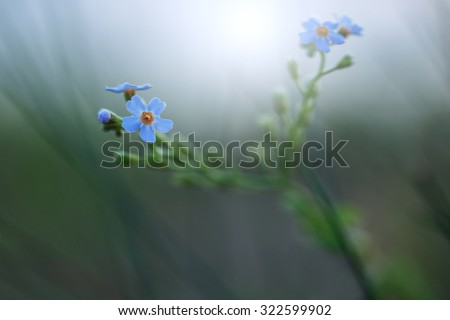 little blue soft meadow wild flower on dark natural background in evening field. Vintage autumn outdoor macro photo with natural misty atmosphere  - stock photo