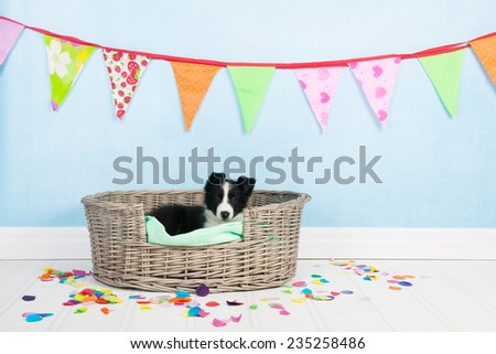 Little Border Collie at birthday in basket - stock photo