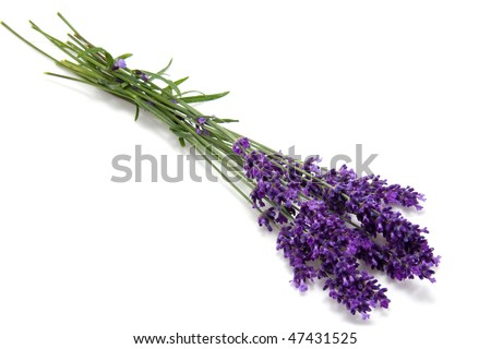 Little bouquet of plucked lavender over white background