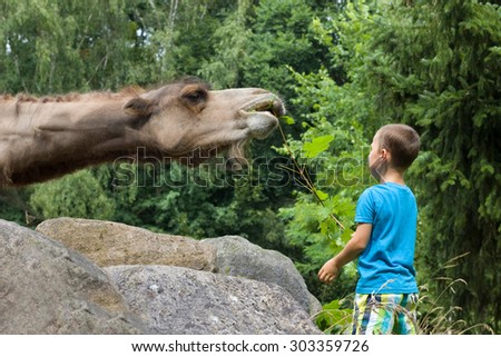 little boy feeds a camel