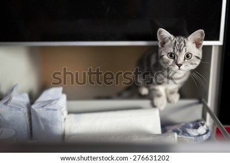 Little British kitten - stock photo