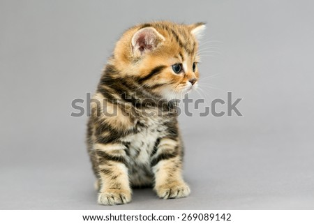 Little British kitten marble colors  and flower on a gray background - stock photo