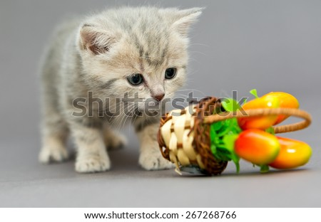 Little British kitten marble colors  and toy on a gray backgroun - stock photo