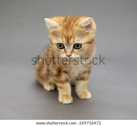 Little British tabby kitten marble colors, with big eyes   on a gray background
