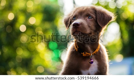 Little brown adorable labrador retriever puppy dog with sunset bokeh background