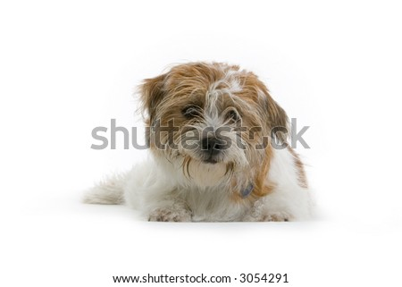 little brown  and white boomer dog looking in the camera in aq studio setting