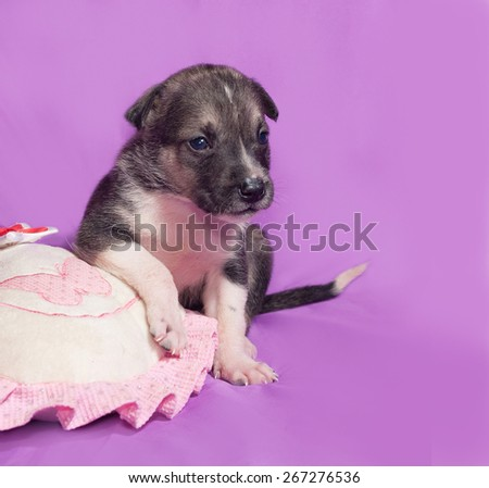 Little brown and white puppy sitting on purple background
