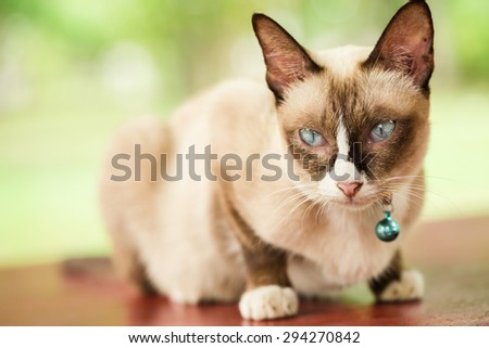 Little brown cat with blue eyes sitting on wooden desk