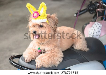 Little brown dog with lovely rabbit hat on seat of parking motercycle