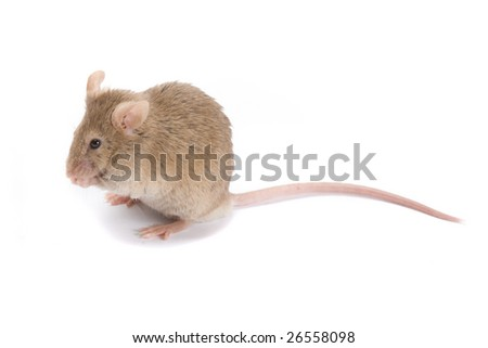 Little brown mouse, isolated on white. - stock photo