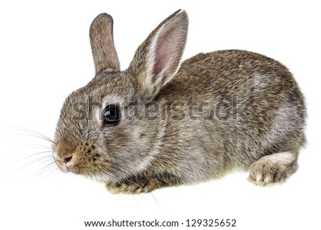 little brown rabbit - stock photo