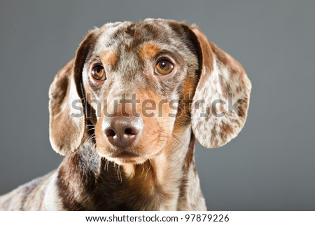 Little brown spotted dachshund isolated on grey background