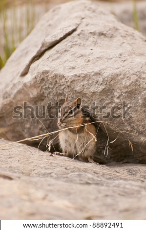 Little brown squirrel under large rock foraging for food.