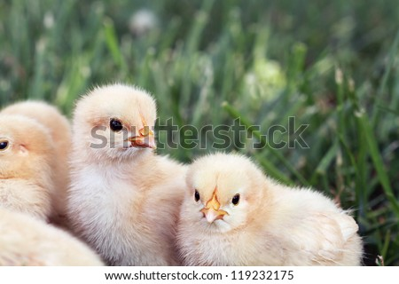 Little Buff Orpington chicks sitting huddled together in the grass. Extreme shallow depth of field.